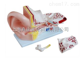 大耳解剖模型