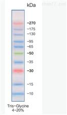 KLHL1蛋白抗体
