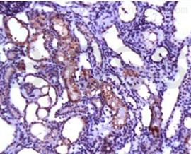 猪骨髓间充质干细胞