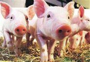 非洲猪瘟快速诊断试剂盒(免疫胶体金)