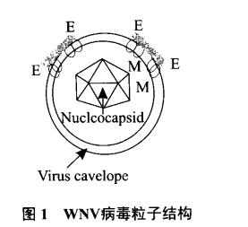 西尼罗河病毒粒子结构